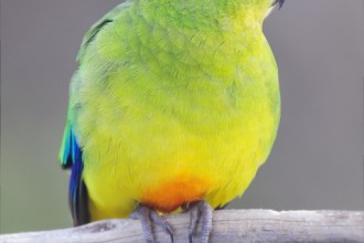 Orange bellied Parrot in Muscles