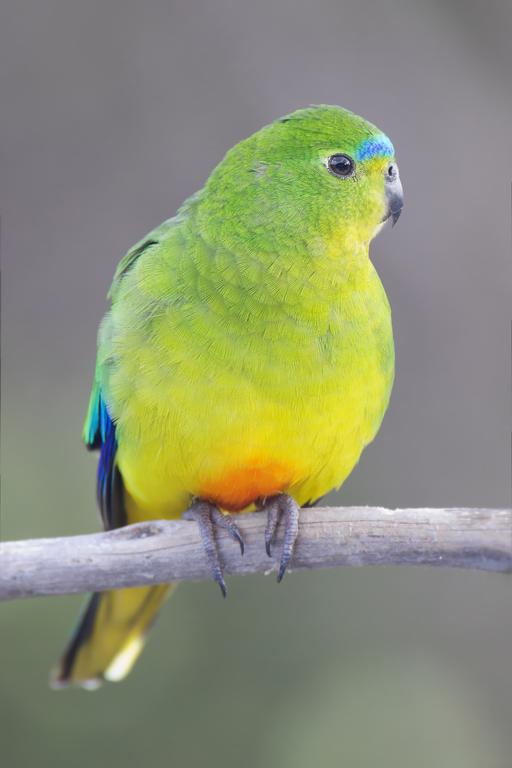 Birds , 7 Lovely Orange Bellied Parrot : Orange Bellied Parrot