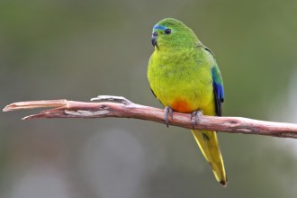 Orange bellied Parrot in Dog