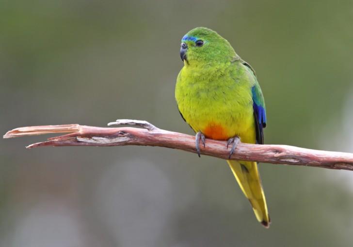 Birds , 7 Lovely Orange Bellied Parrot : Orange Bellied Parrot