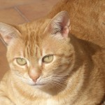 Orange tabby , 7 Awesome Pictures Of Orange Tabby Cats In Cat Category