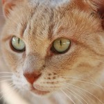 Orange tabby cat , 7 Awesome Pictures Of Orange Tabby Cats In Cat Category