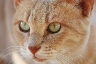 Cat , 7 Awesome Pictures Of Orange Tabby Cats : Orange tabby cat