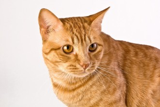 Orange Tabby Cats , 7 Awesome Pictures Of Orange Tabby Cats In Cat Category