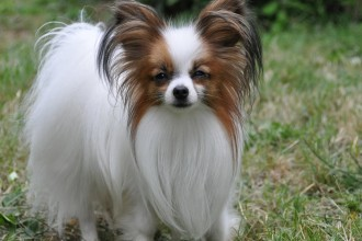Papillon Dog , 4 Beautiful Pictures Of Papillon Dogs In Dog Category