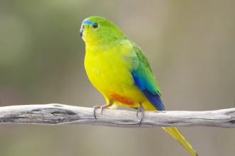 Parrot Orange , 7 Lovely Orange Bellied Parrot In Birds Category