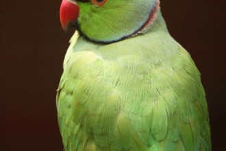 Parrot Pictures , 8 Nice Ringneck Parrot In Birds Category