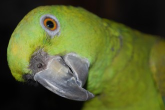 Parrot Rico , 6 Beautiful Parrot Lifespan In Birds Category