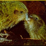 Parrots , 8 Nice Kakapo Parrot In Birds Category