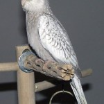 Pearl Bird , 7 Beautiful Pearl Cockatiel In Birds Category
