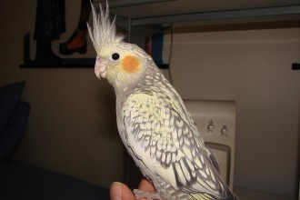 Pearl Cockatiel in Scientific data