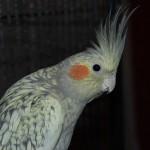 Pearl Cockatiel , 7 Beautiful Pearl Cockatiel In Birds Category