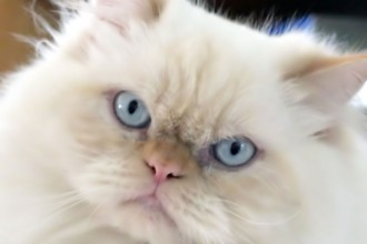 Persian Cat , 5 Lovely Persian Cats Pictures In Cat Category