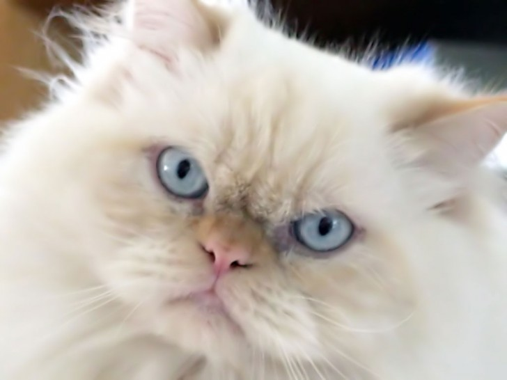 Cat , 5 Lovely Persian Cats Pictures : Persian Cat