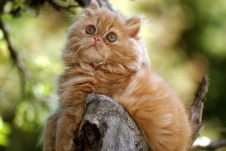 Persian Cat Breeds , 6 Fabulous Pictures Of Cat Breeds In Cat Category