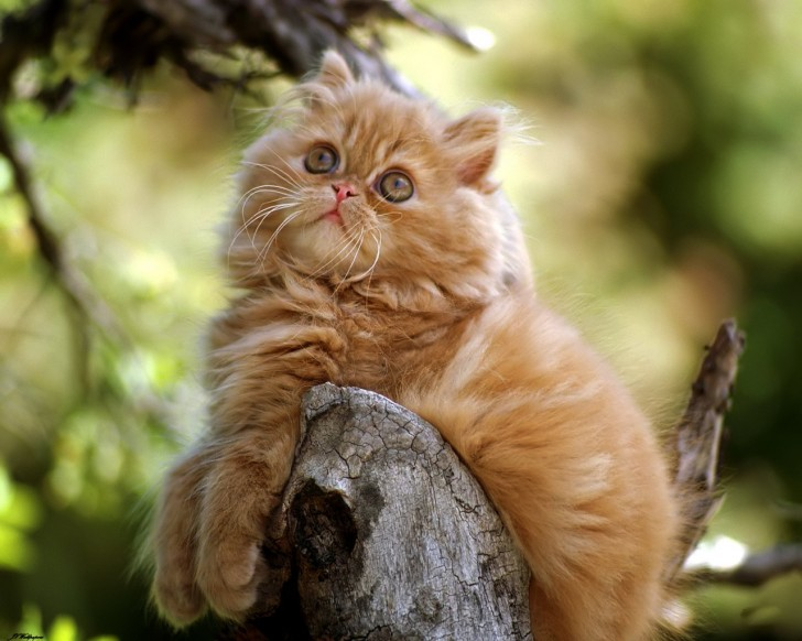 Cat , 6 Fabulous Pictures Of Cat Breeds : Persian Cat Breeds