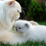 Persian Cat Breeds , 7 Beautiful Cat Breeds With Pictures In Cat Category