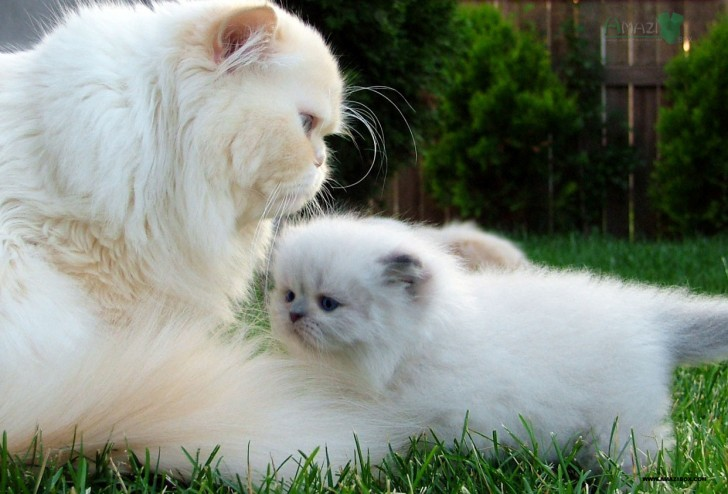 Cat , 7 Beautiful Cat Breeds With Pictures : Persian Cat Breeds