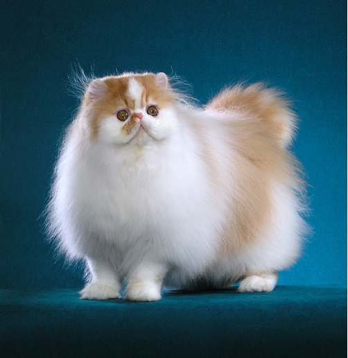 Cat , 7 Beautiful Pictures Of Persian Cats : Persian Cat