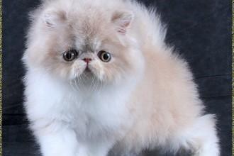 Persian Cats Pictures , 5 Lovely Persian Cats Pictures In Cat Category