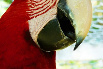 Peru Amazon Red McCaw Parrot , 7 Top Mccaw Parrot In Birds Category