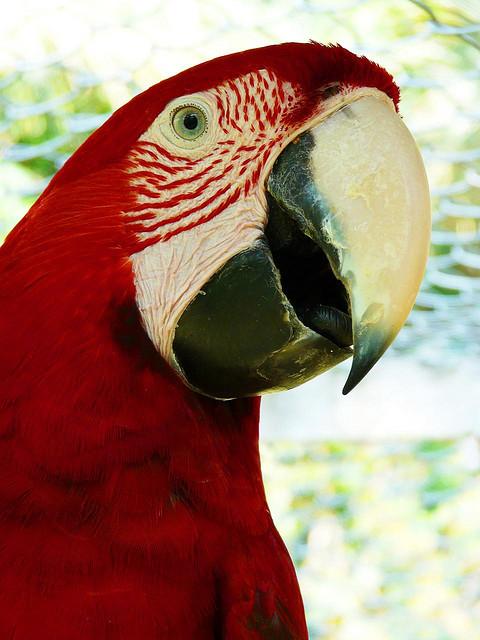 Birds , 7 Top Mccaw Parrot : Peru Amazon Red McCaw Parrot