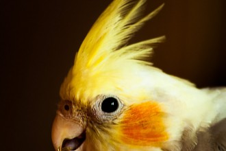 Photo Cockatiels , 7 Unique Do Cockatiels Talk In Birds Category