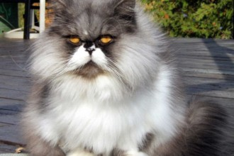 Picture of Persian Cat in Dog