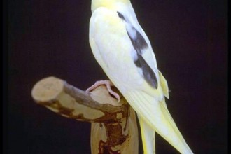 Pied Cockatiel , 8 Beautiful  Pied Cockatiel In Birds Category