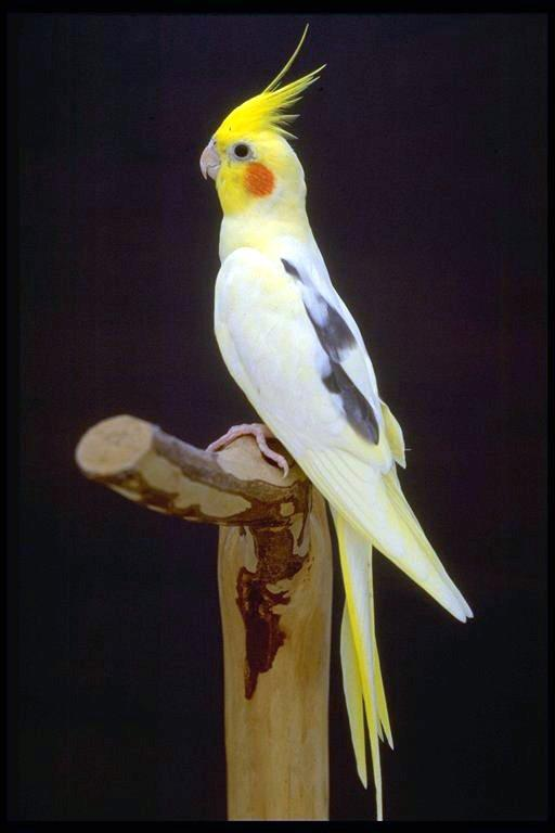 Birds , 8 Beautiful  Pied Cockatiel : Pied Cockatiel