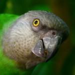 Poicephalus senegalus , 7 Beautiful Senegal Parrot In Birds Category
