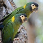 Primolius auricollis , 7 Gorgeous Yellow Collared Macaw In Birds Category