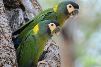 Primolius Auricollis , 7 Gorgeous Yellow Collared Macaw In Birds Category