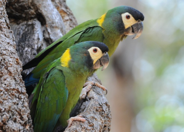 Birds , 7 Gorgeous Yellow Collared Macaw : Primolius Auricollis