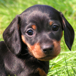 Puppy Dachshund , 8 Fabulous Funny Weiner Dog Pictures In Dog Category