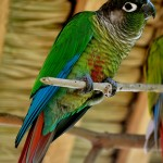 Pyrrhura molinae Parrot , 7 Beautiful Green Cheeked Parrot In Birds Category