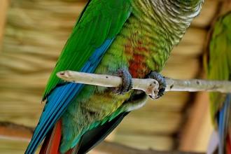 Pyrrhura Molinae Parrot , 7 Beautiful Green Cheeked Parrot In Birds Category