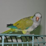 Quaker Parrots , 7 Unique Quaker Parrot Talking In Birds Category