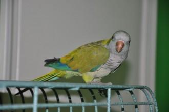 Quaker Parrots , 7 Unique Quaker Parrot Talking In Birds Category