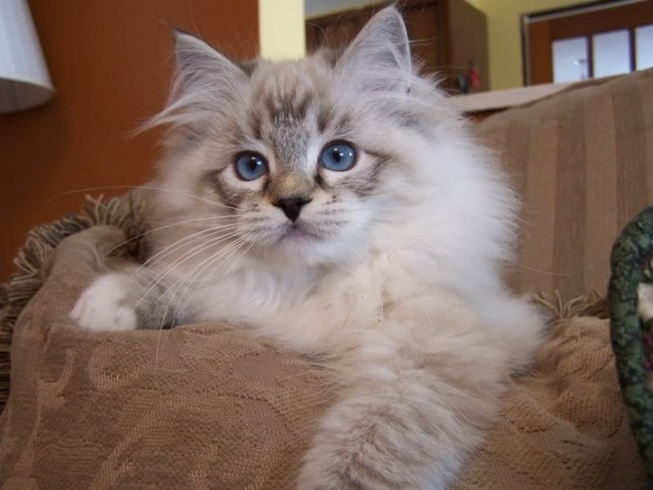 Cat , 5 Fabulous Ragdoll Cat Pictures : Ragdoll Cat