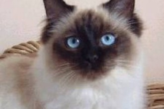 Ragdoll Cat Breed , 6 Fabulous Pictures Of Cat Breeds In Cat Category