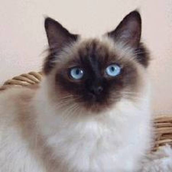 Cat , 6 Fabulous Pictures Of Cat Breeds : Ragdoll Cat Breed