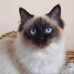 Ragdoll Cat Breed , 7 Beautiful Cat Breeds With Pictures In Cat Category