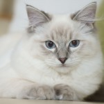 Ragdoll Cat , 6 Wonderful Pictures Of Ragdoll Cats In Cat Category
