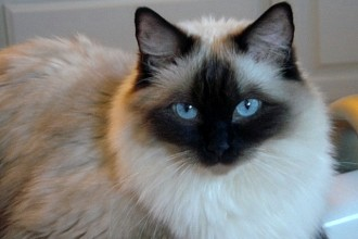 Ragdoll Cats in Human