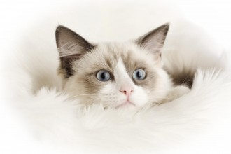 Ragdoll Cats , 6 Wonderful Pictures Of Ragdoll Cats In Cat Category