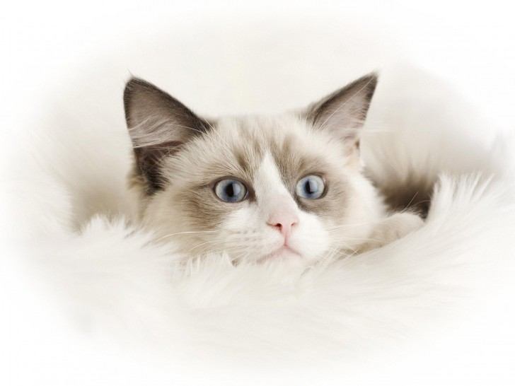 Cat , 6 Wonderful Pictures Of Ragdoll Cats : Ragdoll Cats