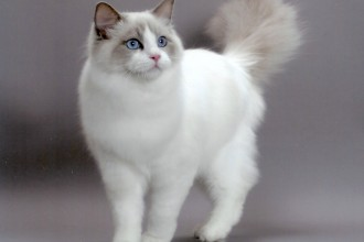 Ragdoll Cute Cats , 5 Gorgeous Ragdoll Cats Pictures In Cat Category