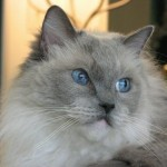 Ragdoll cats pictures , 5 Fabulous Ragdoll Cat Pictures In Cat Category