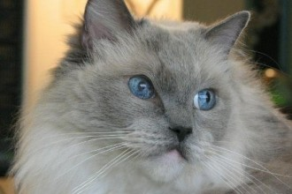Ragdoll Cats Pictures , 6 Wonderful Pictures Of Ragdoll Cats In Cat Category